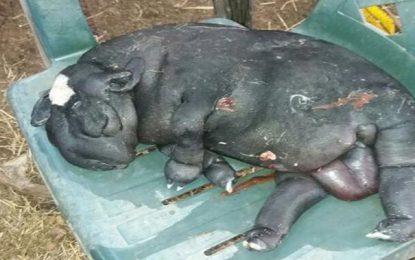 Ovelha nasce com malformação e assusta moradores em Campo Maior