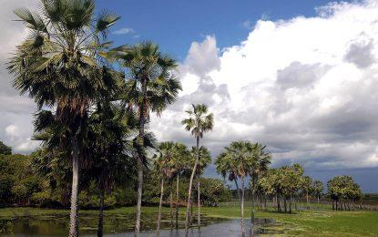 Carnaúba é escolhida como árvore símbolo do Estado do Piauí