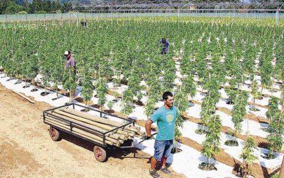 Governo do Piauí pede autorização à PF para plantar maconha para fins medicinais