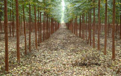 MP investiga danos ambientais causados por plantações de eucaliptos