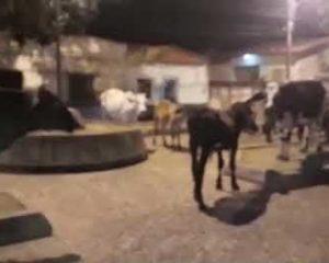 Praça em Florino vira fazenda ao ser tomada por gado. Veja o vídeo!