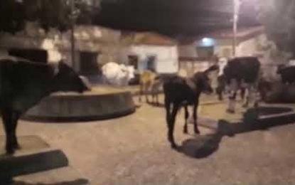 Praça em Floriano vira fazenda ao ser tomada por gado. Veja o vídeo!