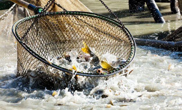 Produção de peixes no Piauí faturou R$ 81,657 milhões em 2018