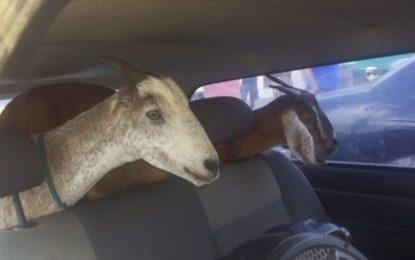 PRF prende grupo acusado de furtar caprinos na zona rural de Floriano