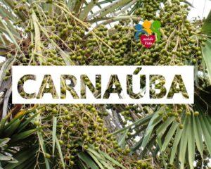 Carnaúba é símbolo de riqueza para o Piauí, assista a reportagem