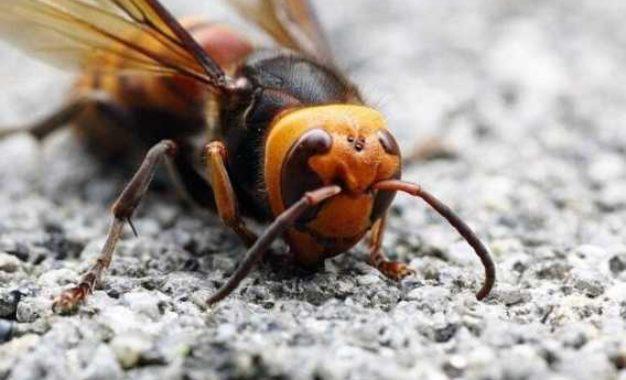 Segunda vespa assassina escapa de cientistas nos Estados Unidos