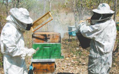 Piauí é o maior produtor de mel do Nordeste e o terceiro maior do Brasil