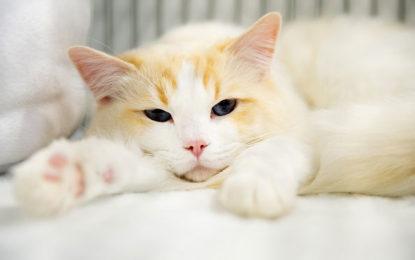 Brasil confirma primeiro caso de gato infectado por coronavírus